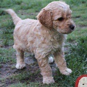 RedLetter Doodles Goldendoodles and Labradoodles – 16
